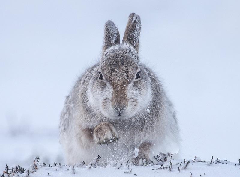 Śnieżny zając Rosamund Macfarlane, Wielka Brytania